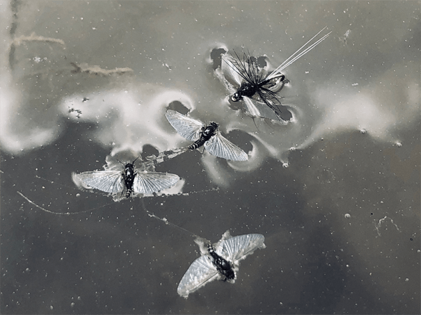 Picture of Tricos floating on the water, the insect Landon Mayer's signature fly sets out to imitate.